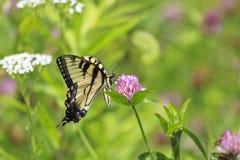 在三叶草的蝴蝶 免版税库存照片