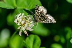 在三叶草的蝴蝶 免版税库存图片