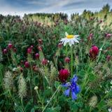 在三叶草领域的野花 免版税图库摄影