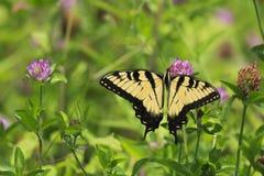 在三叶草绽放的蝴蝶 库存照片