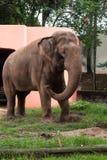 在三文鱼房子前面的大象 免版税库存照片