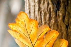 在三的橡木叶子蕨与早晨光 库存图片