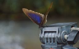 在三脚架头的蝴蝶 库存图片