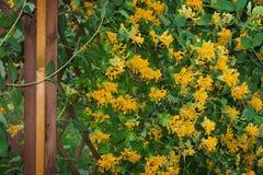 在上升的格子的忍冬属植物 图库摄影