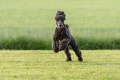 在上午草甸的滑稽的大长卷毛狗 库存图片