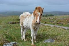 在上流的达特穆尔小马停泊,英国 库存图片