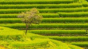 在上流24的稻米 库存图片