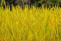 在上流5的稻米 库存图片
