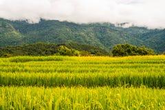 在上流36的稻米 库存图片