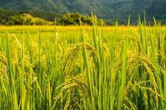 在上流34的稻米 库存照片
