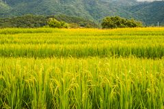 在上流35的稻米 库存照片