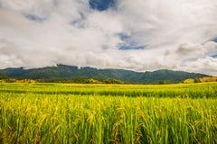 在上流33的稻米 库存图片