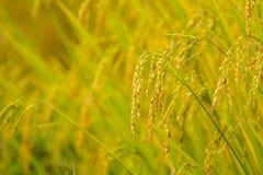 在上流6的稻米 图库摄影