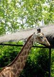 在上海野生动物公园的长颈鹿 免版税图库摄影
