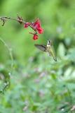 在上空盘旋红色花的蜂鸟 免版税库存图片