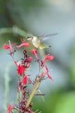 在上空盘旋红色花的蜂鸟 库存图片