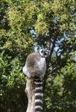 在上野动物园敲响tai狐猴在东京,日本 免版税库存照片