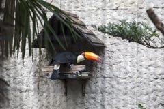 在上野动物园的Toucan在东京,日本 库存图片