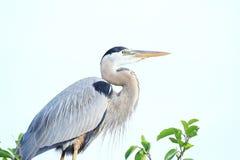 在上面的蓝色苍鹭A三在佛罗里达 免版税库存照片