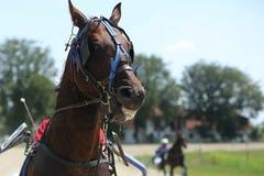 在上马具的赛马比赛期间的马 免版税库存照片