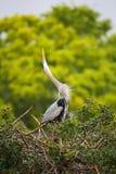 在上添面包的显示的伟大蓝色的苍鹭的巢 它最大的北部上午 免版税库存图片