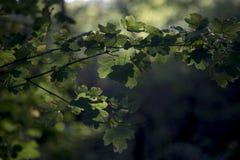 在下午光的槭树叶子 库存照片