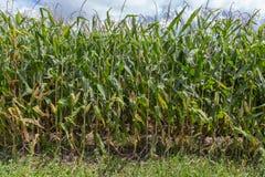 在下午太阳的玉米茎 库存图片