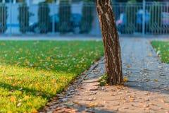 在下午的偏僻的桦树 免版税库存图片