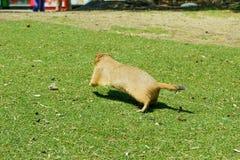 在下午的草原土拨鼠 库存照片