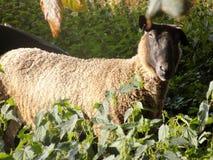 在下木的唯一绵羊 免版税图库摄影