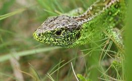 在下木的美好的男性砂蜥蜴蝎虎座Agilis狩猎食物的 免版税库存照片
