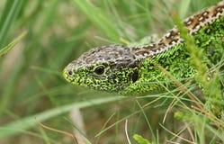 在下木的美好的男性砂蜥蜴蝎虎座Agilis狩猎食物的 免版税图库摄影