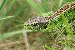 在下木的美好的男性砂蜥蜴蝎虎座Agilis狩猎食物的 免版税库存图片