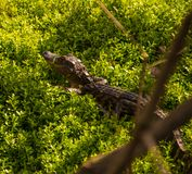 在下木的逗人喜爱的小鳄鱼 库存照片
