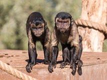 在下来凝视的两只连斗帽女大衣猴子 免版税库存图片