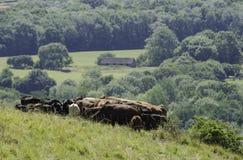 在下来的牛 库存照片