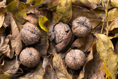 在下落的叶子的核桃 免版税库存图片