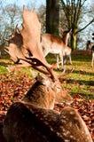 在下落的叶子的白尾鹿 库存照片
