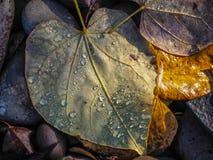 在下落的叶子的水滴 免版税库存图片