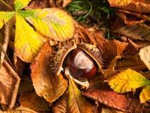在下落的叶子的Droped七叶树果实在秋天 免版税库存照片