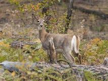 在下落的日志后的鹿 免版税库存图片