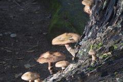 在下落的树,灰洞,俄亥俄的蘑菇 免版税库存照片