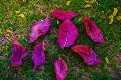 在下落的桃红色叶子从树 库存照片