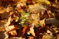 在下落的槭树叶子的花 免版税图库摄影