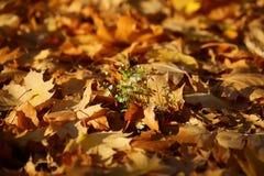 在下落的槭树叶子的花 免版税库存图片
