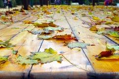 在下落的秋天槭树叶子的选择聚焦 库存照片