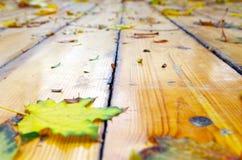 在下落的秋天槭树的选择聚焦留下特写镜头 免版税库存照片