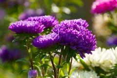在下落的翠菊花 免版税图库摄影