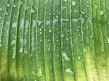 在下雨以后浇灌在绿色和黄色香蕉叶子的下落 免版税库存图片