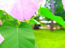 在下雨桃红色花以后 免版税库存照片
